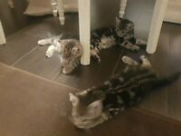 2 kittens rare breeed £140