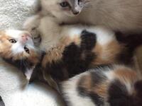 Kitten -Reserved