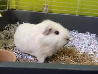 Beautiful white guinea pig