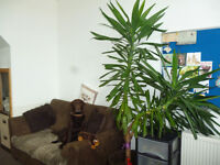 YUCCA HOUSE PLANT 7FT EXCELLENT CONDITION