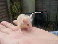 Friendly and tame mice for sale