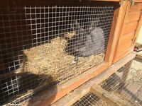 FREE to a good home! Rabbit, female, 2 years old