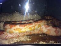 Corn snake with viv and ball python with viv for sale