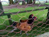 2 vorwerk cockerels 3 months old