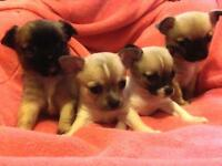 Gorgeous female chihuahua puppies for sale