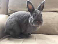 Gorgeous grey rabbit