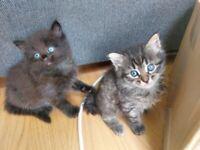 2 beautiful hypoallergenic Siberian kittens
