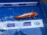 Koi fish for sale twelve in total job lot