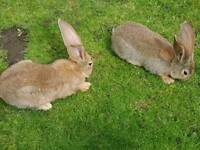 2 continental giant rabbits