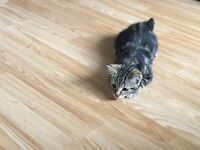 20 week old male kitten