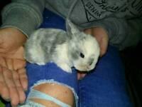 Baby mini lop's