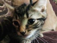 1 girl left half Russian blue half Bengal tabby Kittens