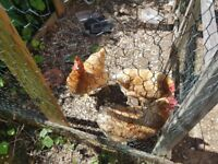 Three Point Of Lay Hens for sale, Rhode Island Reds.