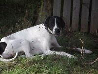 ENGLISH POINTER PUPPIES KC REGISTERED