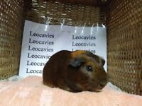 Male baby guinea pigs ready now