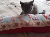 BSH blue male kitten for sale