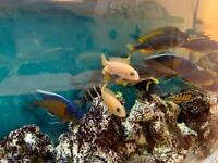 Cichlids for sale from £1 each