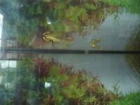 Young Tiger Endler Guppy 1 for £1 or a pair (male + female) for £1.50
