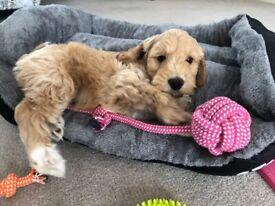 Puppies needing re-home - Last Cockapoo