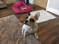 FRENCH BULLDOG FEMALE 5th Generation Pup 7 months Old