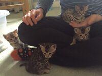 Pedigree Bengal Kittens for Sale!