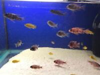 Approx 30 African malawi cichlid for sale | need gone asap | peacocks & haps