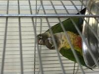 Couple conure yellowside livraison montreal
