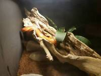 Corn snake with viv.