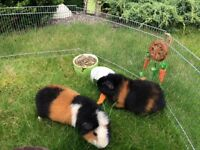 SOLD Two Male Guinea Pigs, Plus accessories, meet Twiglet and Marmite