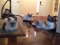 Temporary home for Three blue point mitted Ragdoll