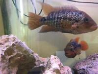 Pair of American cichlids