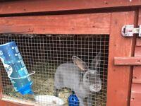 Lilac Rex rabbit