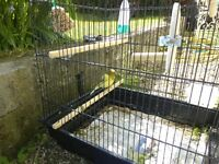 Singing male canary for sale