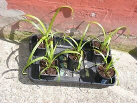 pots of grasses for sale