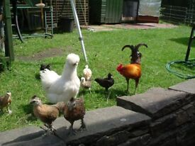 chickens, silkie x old english game bantams