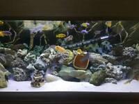 Mbuna fish / African cichlids