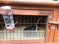 Free Guinea Pigs