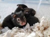 Sable syrian hamsters
