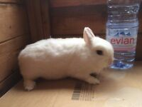 Netherland Dwarf white rabbit Doe