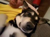 Husky Collie cross for a good home