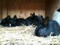 3 Dutch cross bunnies