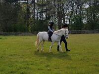 12hh grey mare