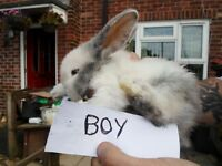 baby bunnie for sale