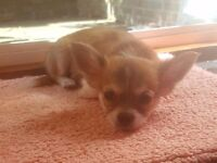Chihuahua puppies Long haired