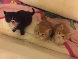 3 Siberian kittens