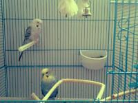 Two cute budgies/paraketts