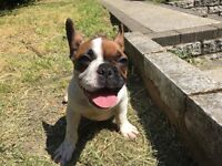 Beige Pied French Bulldog boy 4 months old for sale