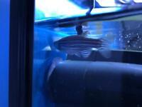 Two zebra danio fishes