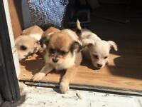 For Sale .. chihuahua X bichon frise pupps