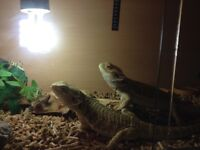 Male and female bearded dragons with complete set-up